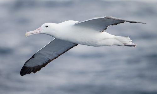 Baudelaire, L'albatro (L'albatros)